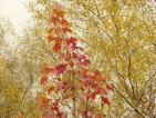 Acer rubrum October Glory