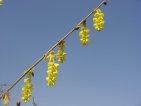 Corylopsis glabrescens Lemon Drop