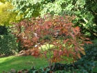 Aesculus neglecta Autumn Fire