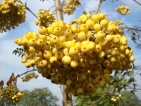 Sorbus Ethel's Gold