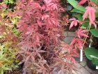 Acer palmatum Skeeter's Broom