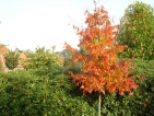 Carpinus caroliniana Red Fall