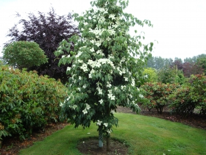 Cornus kousa China Girl