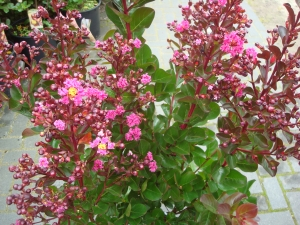 Lagerstroemia Pink Velour