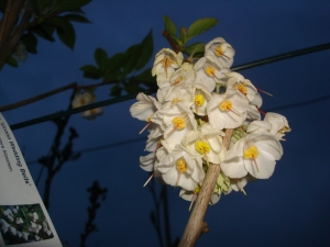 Halesia carolina Uconn Wedding Bells
